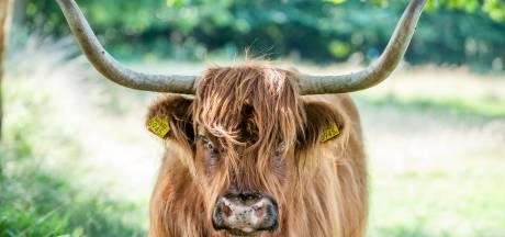 'Chagrijnige' Schotse hooglander verwijderd uit Twents natuurgebied na aanval op vrouw