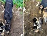 Rouwende hond begraaft puppy's