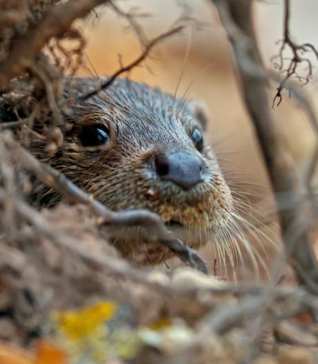 Het gaat goed met de otter in Nederland: aantal blijft stijgen