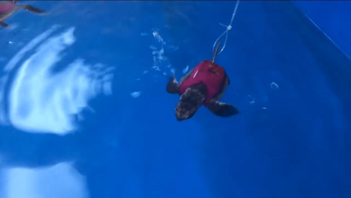 De schildpadjes kregen speciale zwempakjes met sensoren die verschillende energieniveaus moesten meten.