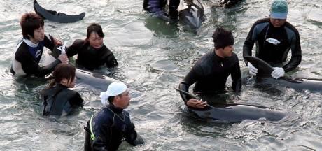 Recordaantal dolfijnen ingesloten in Japanse 'baai des doods'