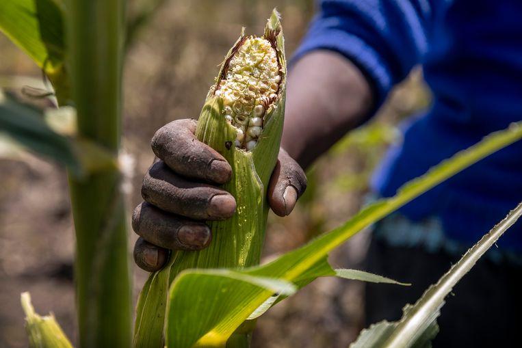 De aangevreten maïs.  Beeld Sven Torfinn / de Volkskrant