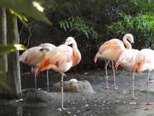Flamingo's in DierenPark Amersfoort strijden om nep-ei