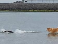 Unieke show! Zeehond speelt met hond Chunky in water bij Brouwersdam