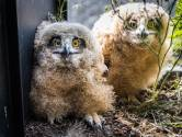 """De oehoe-familie van Geel die Vlaanderen op stelten zette: """"Mijn stadsbalkon bleek dan toch niet het ideale nestje, ondertussen vliegen ze vrij rond"""""""