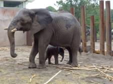 Babynieuws in Ouwehands Dierenpark: olifant Duna, die vorige jong doodde, bevalt van een mannetje