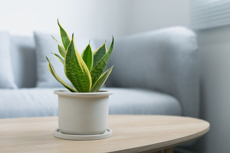 Sansevieria Beeld Getty Images