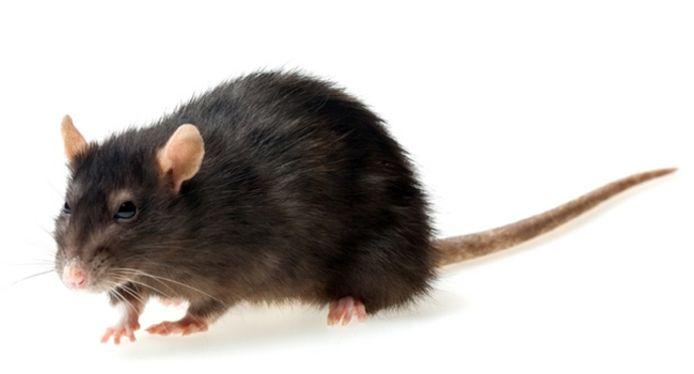 Een zwarte rat.