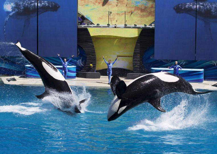 In de SeaWorld-pretparken krijgen bezoekers dagelijks orkashows te zien. SeaWorld ligt echter al jaren onder vuur omdat het orka's in gevangenschap houdt.