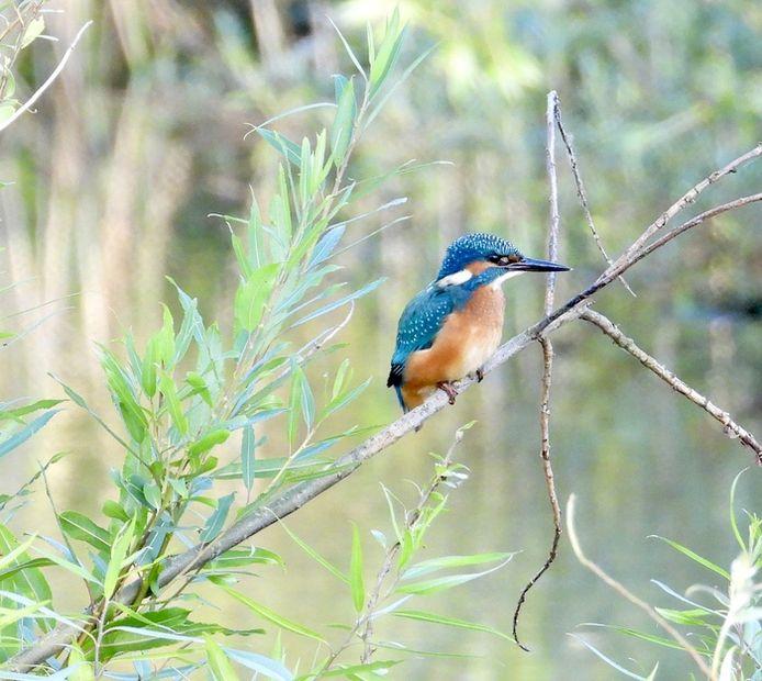 IJsvogel op zoek naar een visje in de Oase in Valkenswaard (lezersfoto).