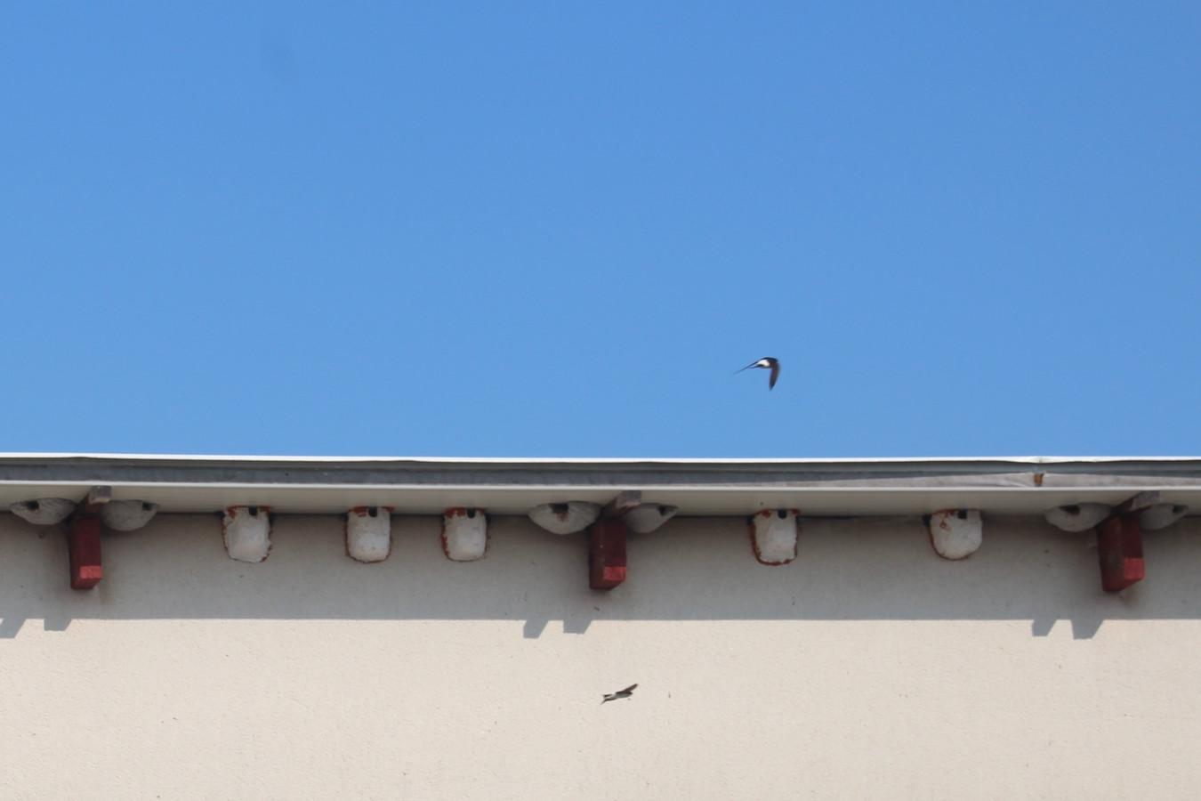 Onder de dakgoot van Chris Spitaels en Guy Devreese is het driemaal per jaar een komen en gaan van zwaluwkoppeltjes.