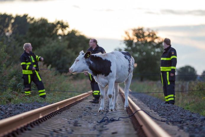 Brandweer haalt uitgebroken koe van spoorlijn in Made.
