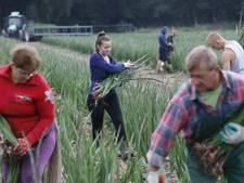 Gladiolen voor Vierdaagse mogelijk duurder