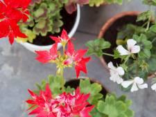 Voor het eerst in 37 jaar geen geraniumstekjes op Walcherse scholen
