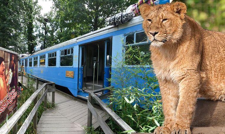 Het treintje waarin de bezoekers zich verschansten en leeuwin Rani. Beeld Photo News/Planckendael