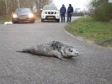 Pas op: overstekende hitsige zeehonden. 'Het zijn eigenwijze beesten'