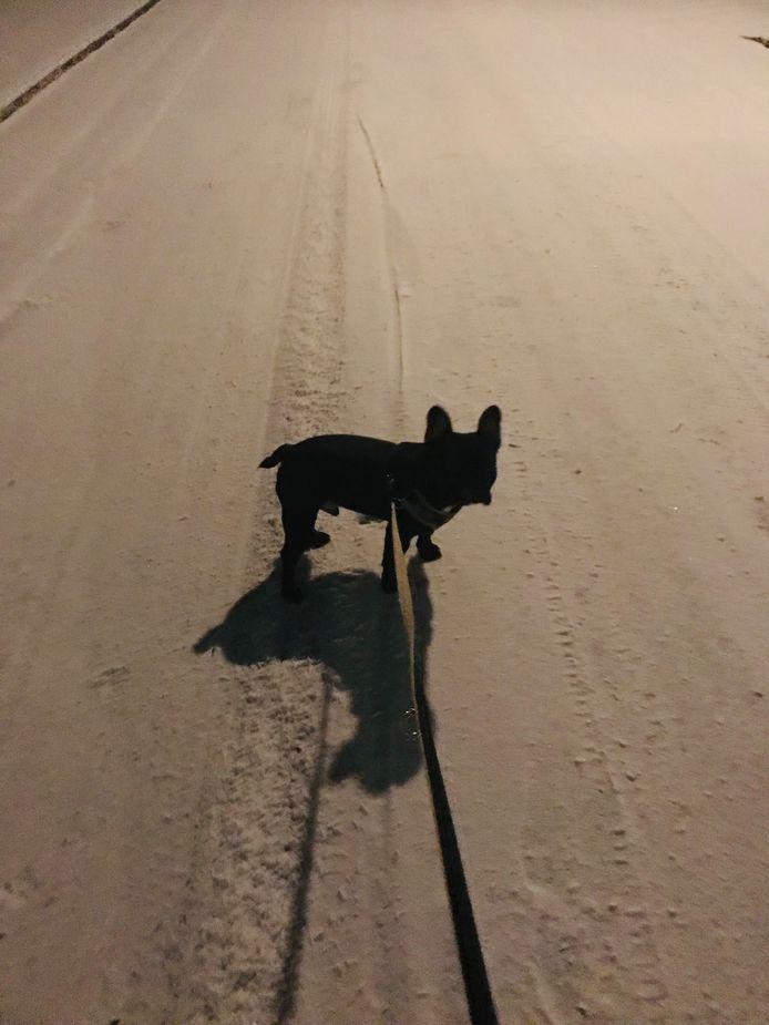 Franse bulldog Buck ziet op straat in Doetinchem voor het eerst sneeuw.