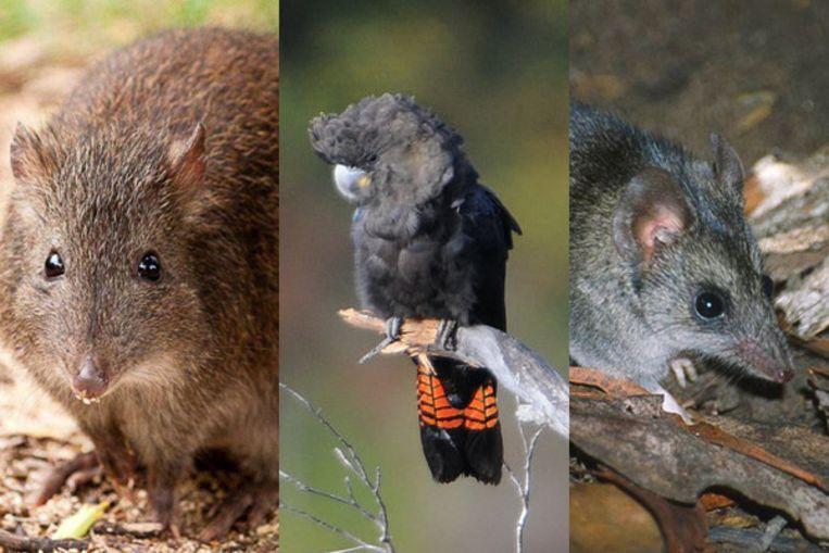 De grootpootpotoroe, de bruine raafkaketoe en de buidelmuis.