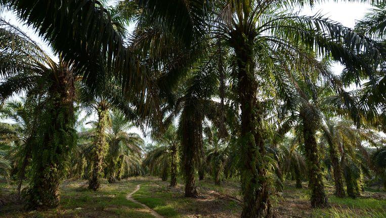 Een plantatie oliepalmen (archiefbeeld). Beeld AFP