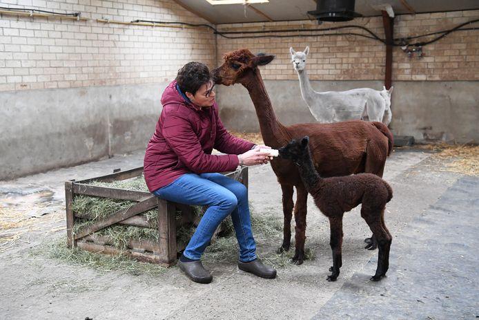 CASTELREE, Jan Stads / Pix4Profs Alpaca Farm t Steeke. Eigenaren Piet Hofman en Lucienne Verheijen