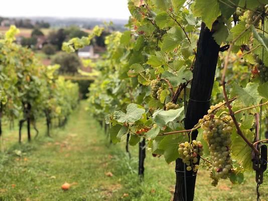De wijngaard waar de Limburg Wijnmarathon plaatsvindt.