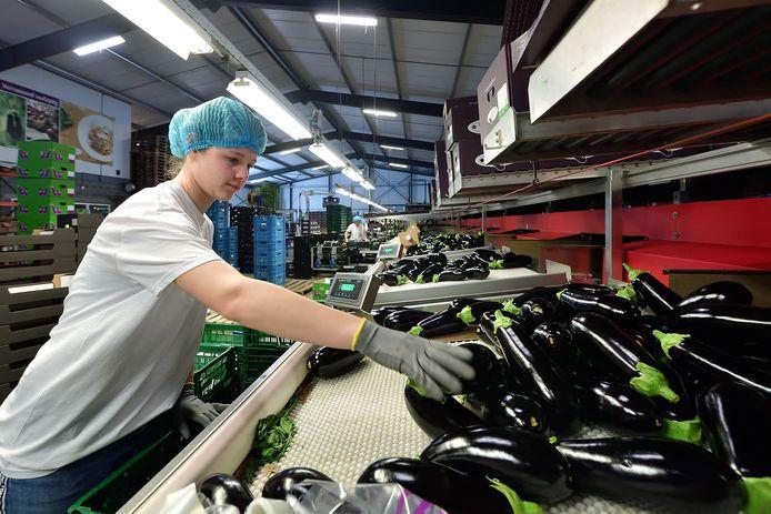 Sam Schoutens werkt normaal gesproken in de horeca, maar is nu aan de slag bij een auberginekweker.