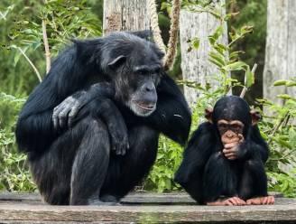 Jonge chimpansee plots overleden in Beekse Bergen