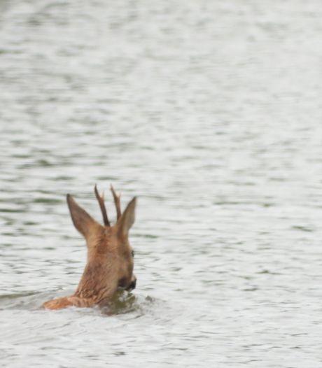 Ree belandt in kanaal Brugge-Oostende, brandweer opgeroepen om dier te redden