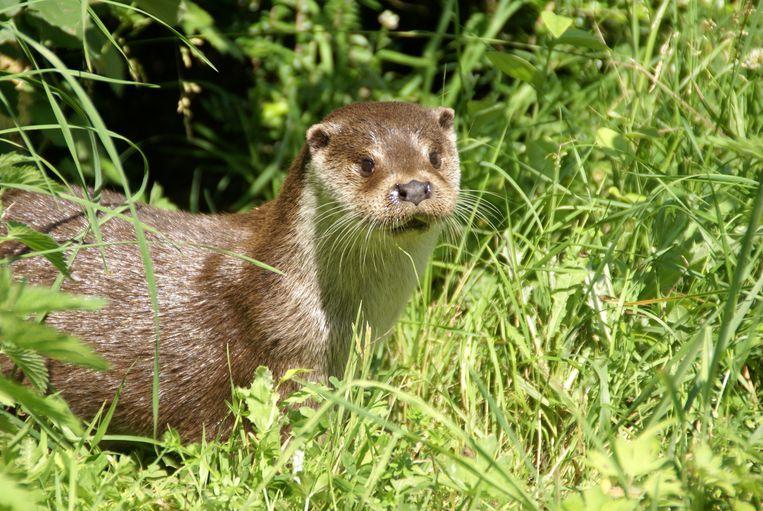 Na herintroductie in 2002 telt Nederland nu weer zo'n 450 otters. Beeld