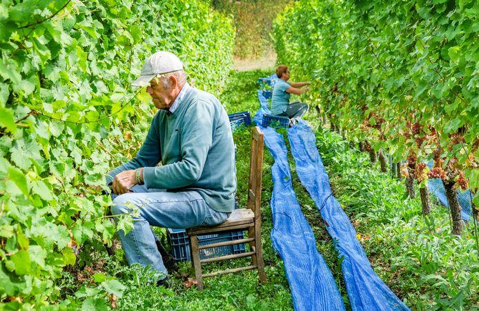 Medewerkers van wijndomein Entre-Deux-Mont aan het werk. De Westhoek wordt meer en meer een echte wijnstreek.