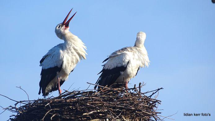 Ooievaarspaar op het nest, op Tusveld in Almelo.