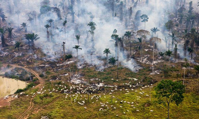 Het toekomstige vlees op iemands bord graast naast het brandende Amazonewoud in Brazilië.