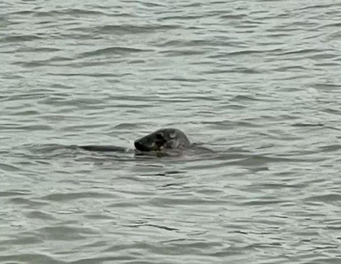 Zeehond in de Nieuwe Maas.