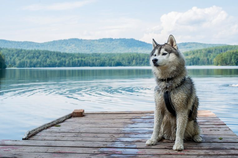 Husky. Beeld Getty Images/500px