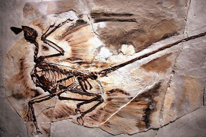 Een fossiel van een Microraptor in het American Museum of Natural History in New York.