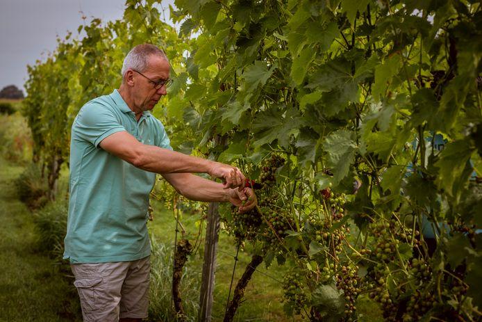 Het aantal trossen liegt er niet om in de wijngaard van de Reestlandhoeve. Het zijn er dit jaar zoveel, dat wijnboer John Huisma, noodgedwongen wel eenderde wegknipt. ,,Zo krijgt de rest hopelijk nog wat zon in een mooi najaar.''