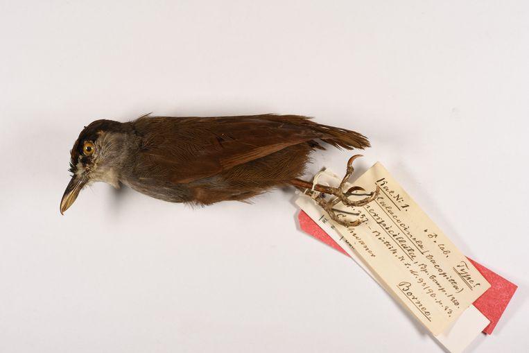 De opgezette zwartbrauwmuistimalia uit de collectie van Naturalis. Een levend exemplaar werd onlangs, na 170 jaar uitgestorven gewaand, weer gespot in Indonesië. Beeld Steven van der Mije, Naturalis