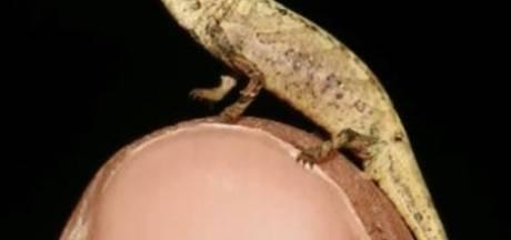 Groot geschapen minikameleon ontdekt in Madagaskar