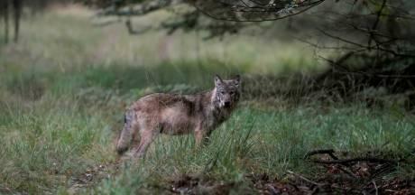 Wolf dood na aanrijding bij Planken Wambuis