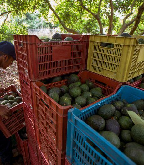 'Avocado's zullen ook gebruikt gaan worden voor cocaïnesmokkel'