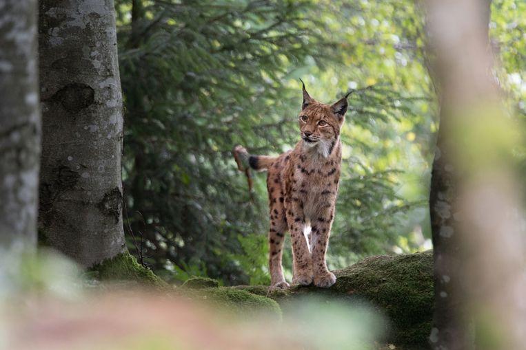 Een lynx duikt al op in buurlanden als Duitsland. Beeld belga