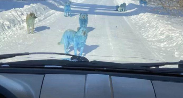 """Résultat de recherche d'images pour """"chiens bleus"""""""