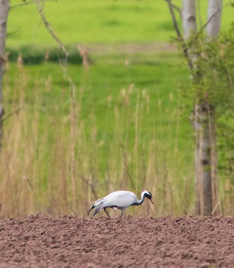Vogelaars in rep en roer: Jufferkraanvogel gespot bij de Voorsterklei