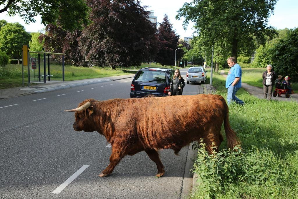 Rustig steekt het dier de straat over.
