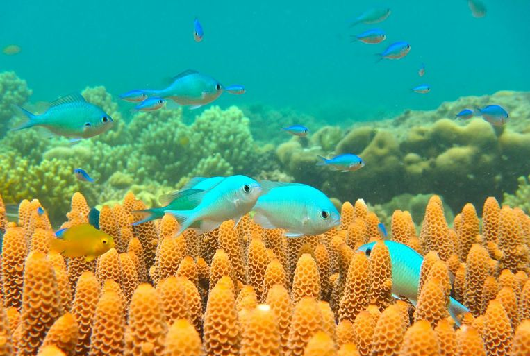 Blauwgroene juffertjes in het koraal nabij Lizard Island. Beeld afp