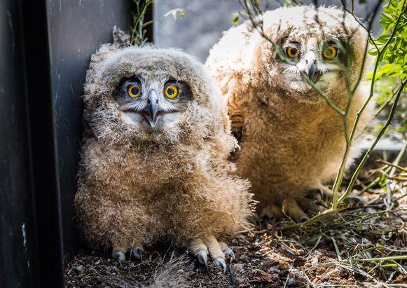 In de bloembak van een appartement in Geel wonen sinds kort drie oehoejongen en hun moeder.