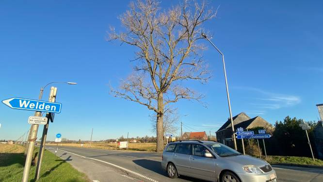 """Petitie tegen rooien van iconische populier aan De Mode: """"Maar de boom is ziek en niet meer te redden"""""""