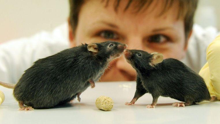 Onderzoekers voerden verschillende experimenten uit op muizen. Muizen die de darmbacteriën kregen van vrouwen met overgewicht werden dik, muizen met bacteriën van dunne vrouwen bleven slank. Beeld epa
