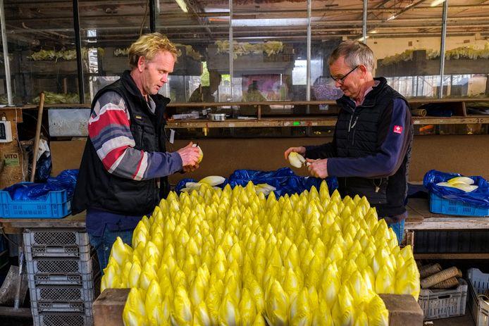 De laatste witloftrekkers uit Vinkeveen houden er mee op: de broers Ton (links, 59) en Jos (62) Bunschoten houden het na zo'n 45 jaar voor gezien. Als scholier trokken ze al de witlofstronken van de tenen, maar opvolgers zijn er niet.