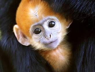 Superschattig: zoo van Philadelphia verwelkomt babyaapje